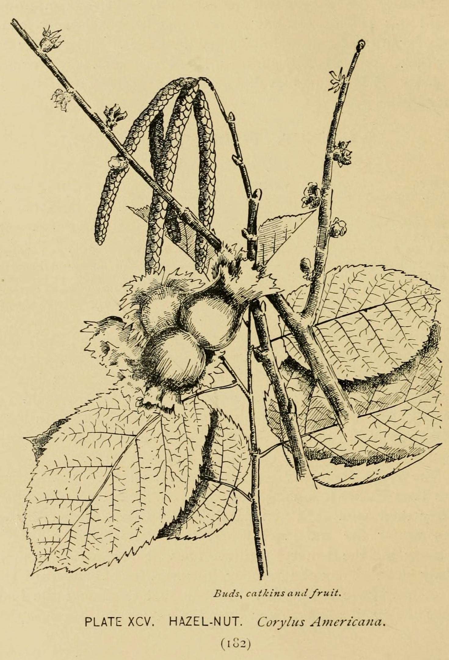 Corylus americana (American hazelnut); drawing by E. Rowan, 1900