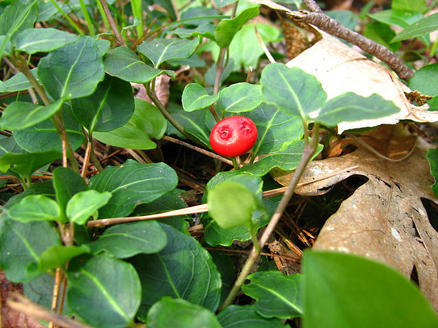Mitchella repans (partridge berry)