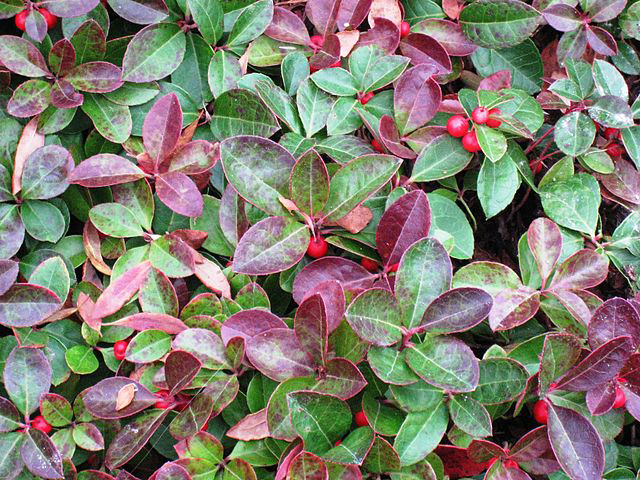 Gaultheria procumbens (eastern teaberry, checkerberry, boxberry, American wintergreen)