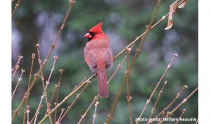 cardinal-photo-taken-by-wm-reaume-cover