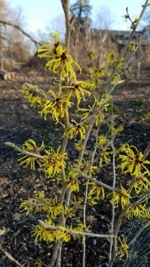 Chinese Witch Hazel 'Wisley Supreme'