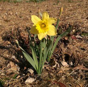 daffodil 3_16