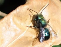 Blue Orchard Mason Bee, credit: USDA Forest Service