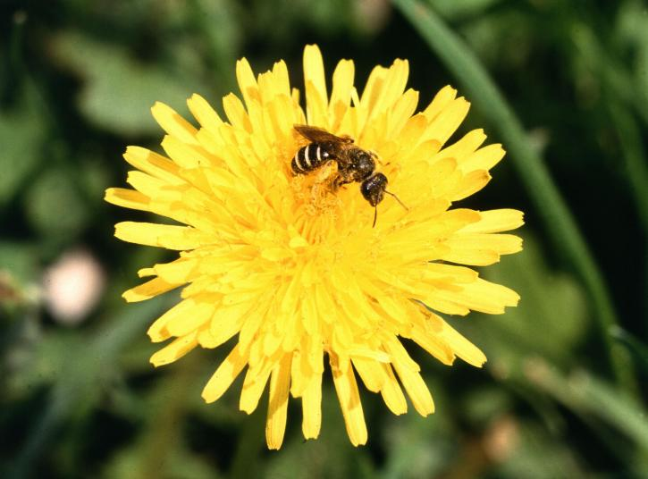 Sweat Bee on a Dandelion