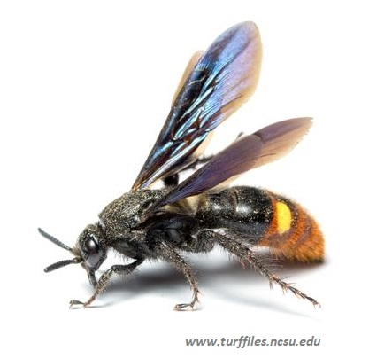 Scollid Wasp (credit: NC State Extension)